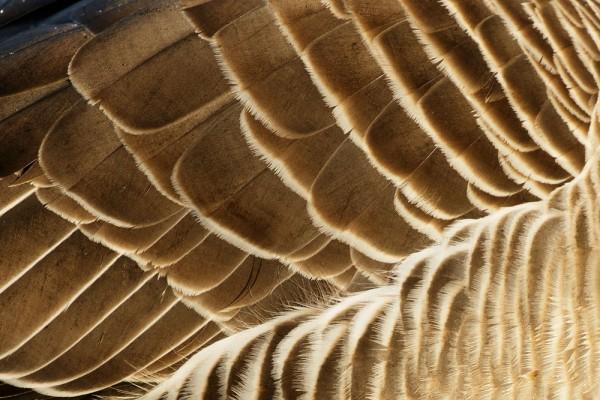 Greylag goose wing detail