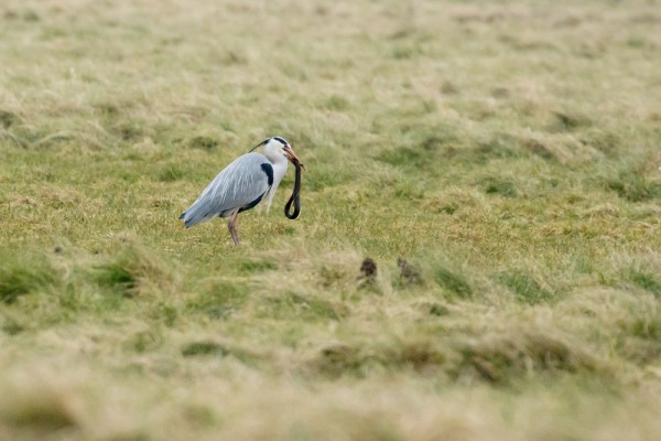 heron and eel