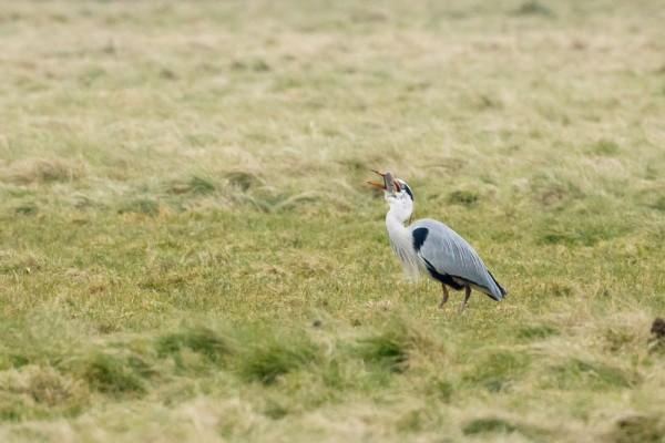 heron and eel