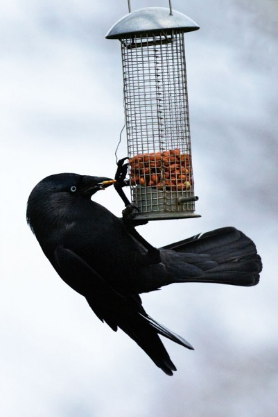 Jackdaw on peanut feeder