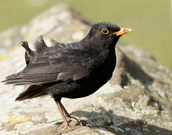 Blackbird with missing tail feathers