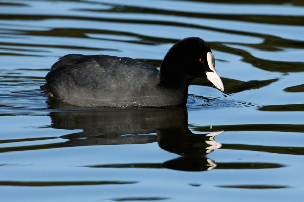 Coot and reflection