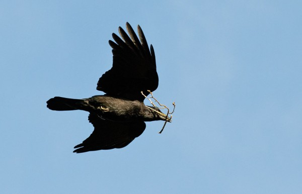 Crow carrying twig