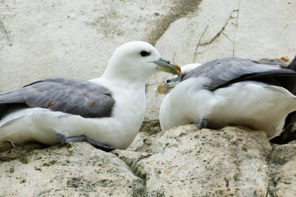 Fulmars on the cliffs at Rottingdean