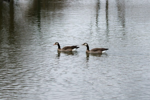 Pair of unknown geese at Falmer