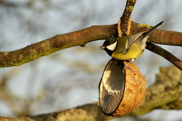 Great tit on coconut shell
