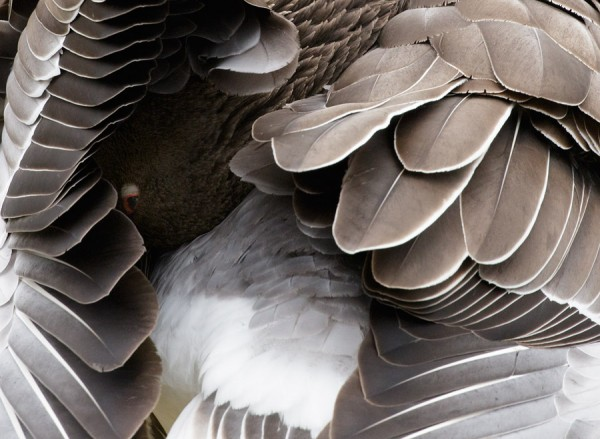 greylag goose feather detail
