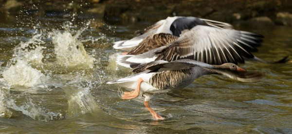 Greylag geese racing