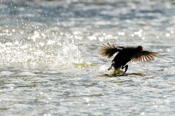 Moorhen running on water