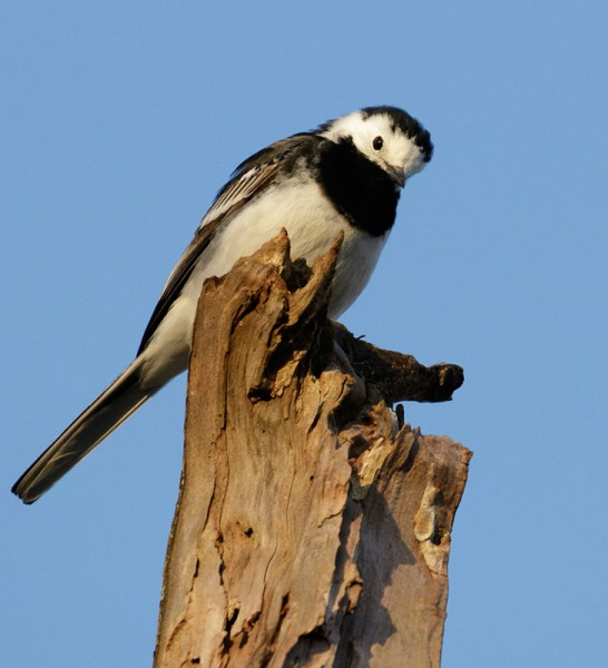 Pied wagtail on dead tree
