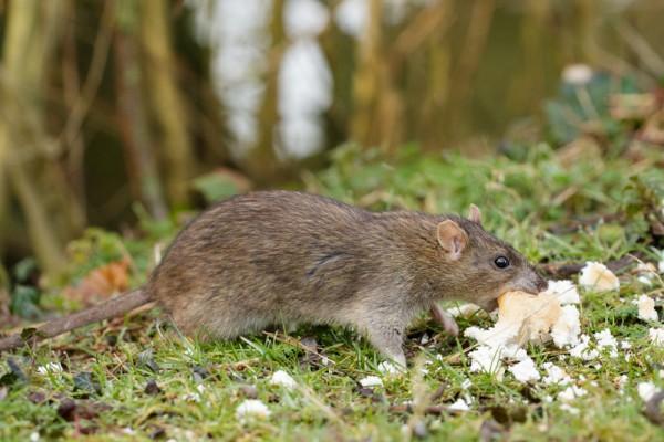 rat grabbing bread