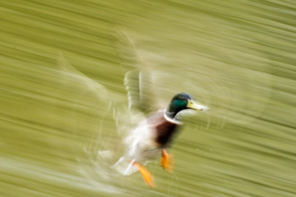 Mallard duck (motion blur)