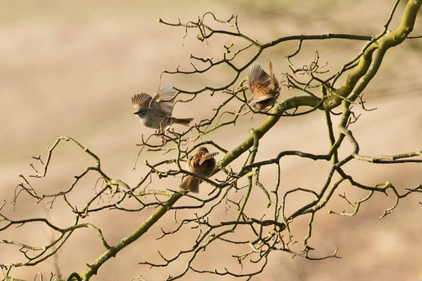 Trio of dunnocks in mating dance