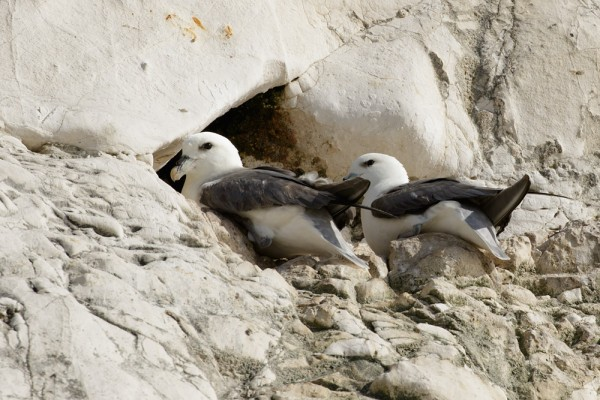 Fulmars at Rottingdean