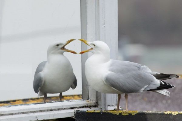 Herring gull and mirror window
