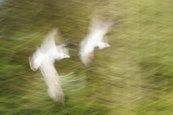 Herring gulls (motion blur)