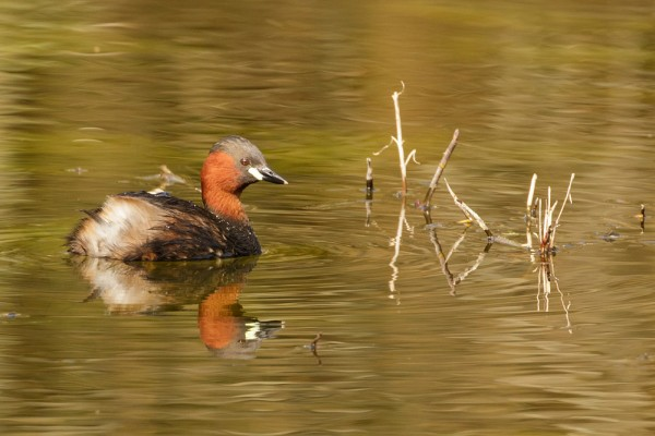 Little grebe in breeding plumage