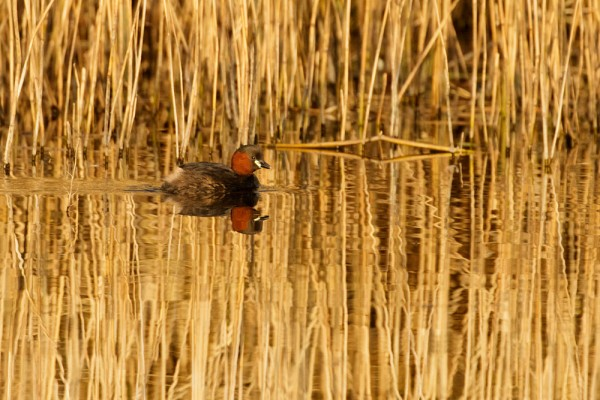 Little grebe in breeding plumage at Woods Mill