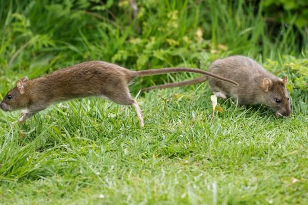 Rat leaping