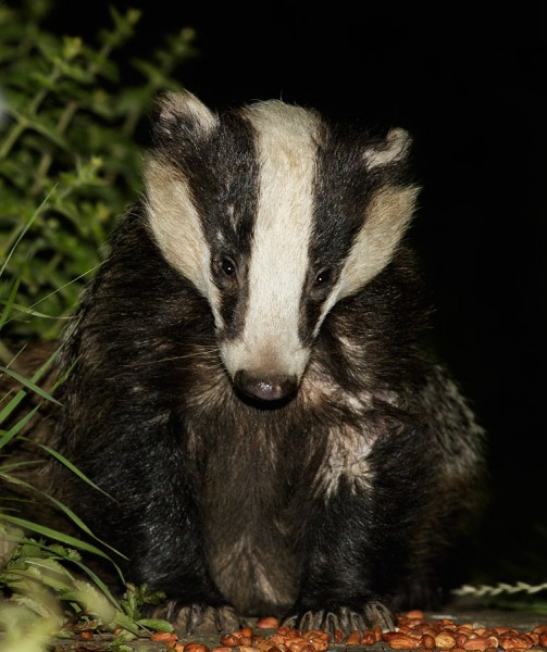 Badger on the path