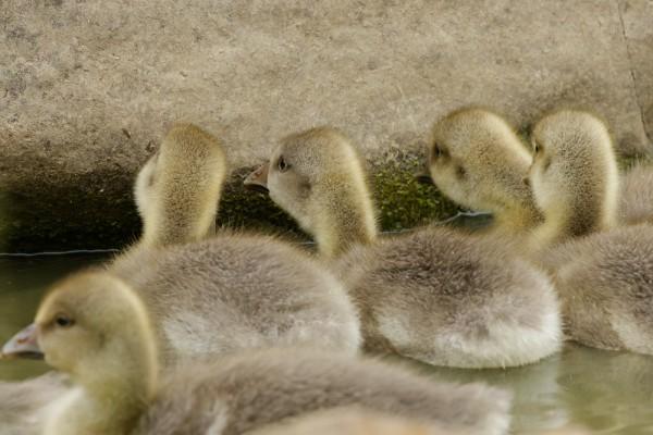 greylag goslings