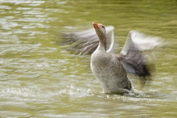 greylag adult