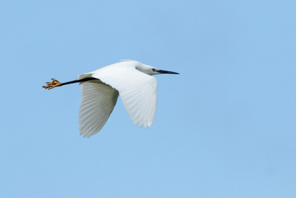 Little egret at Seven Sisters Country Park