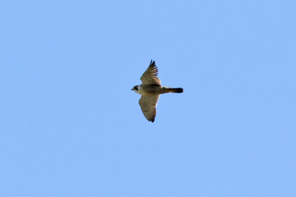 Peregrine falcon over Falmer