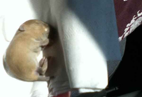 baby vole
