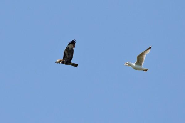 buzzard and herring gull