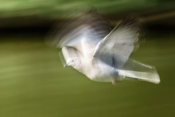 Collared dove (motion blur)