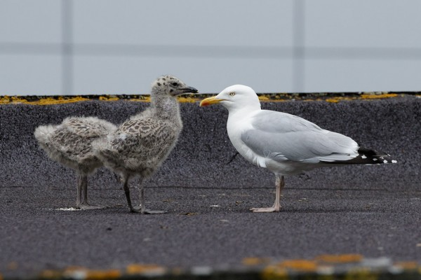 Herring gull chicks and adult