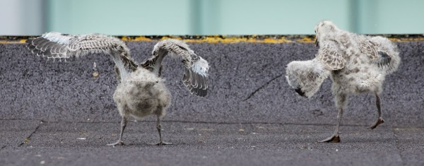 Herring gull chicks