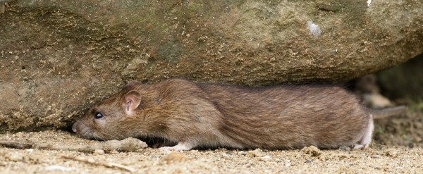 Rat under a rock #4