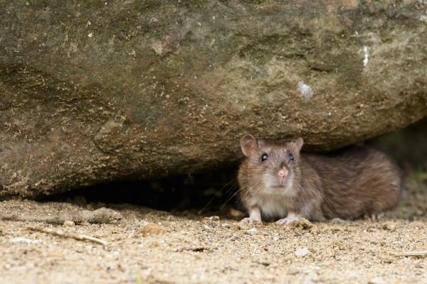 Rat under a rock #1