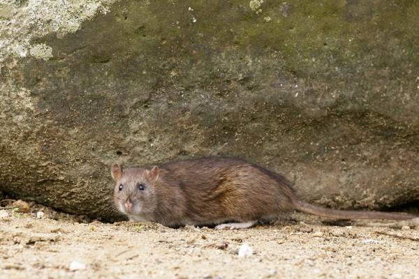 Rat under a rock #2