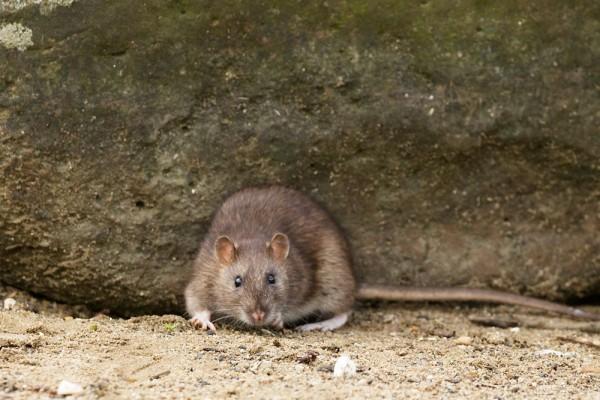 Rat under a rock #3