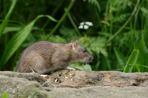 Rat on a rock