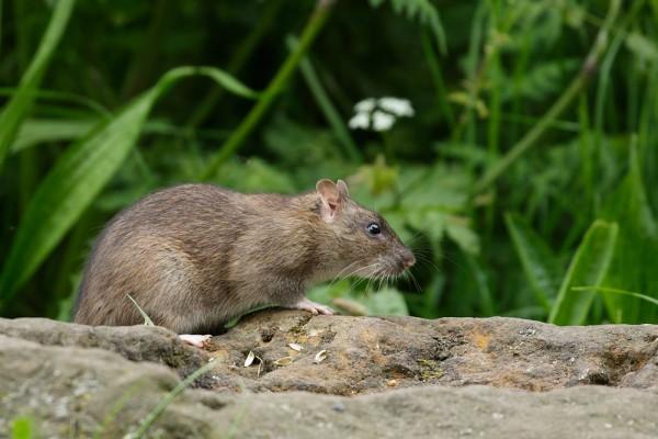 Rat on a rock