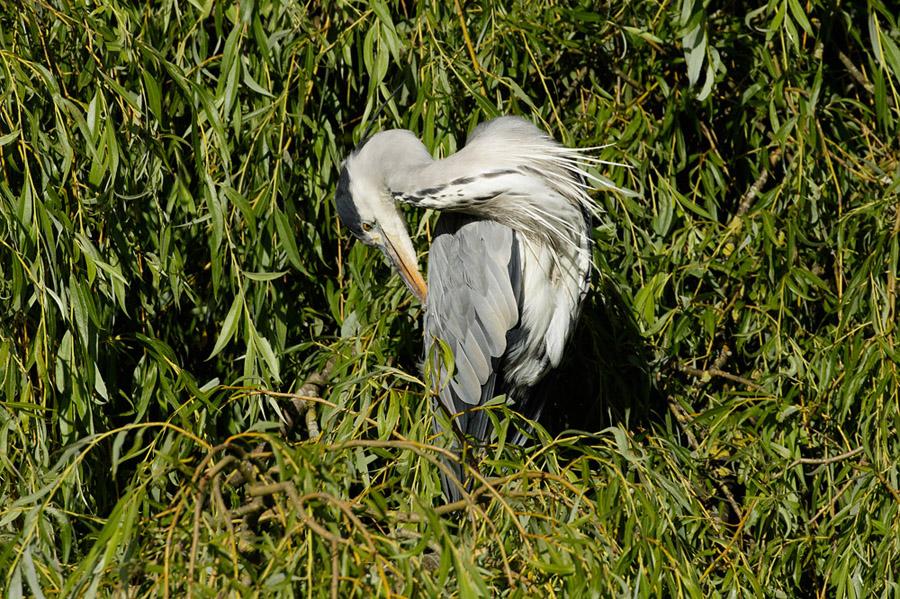 Grey heron posing