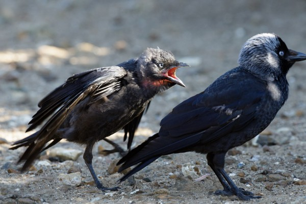 fledgling jackdaw and adult