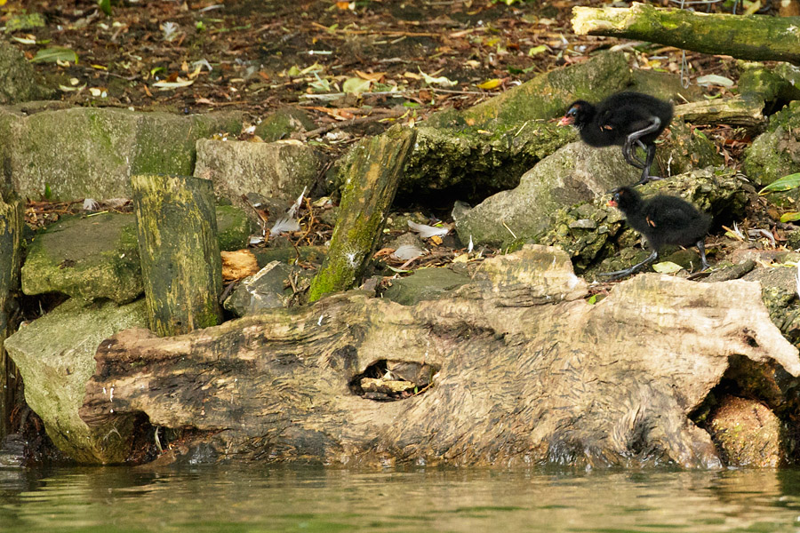 Moorhen chicks on the island at Falmer Pond
