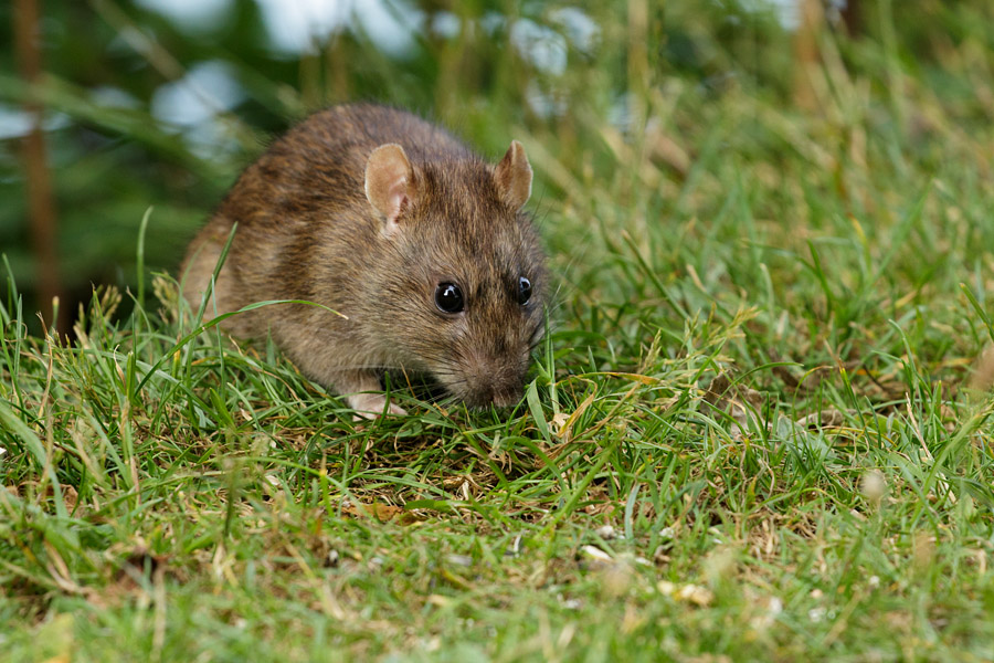 Rat clambering on to the grassy bank of Falmer Pond