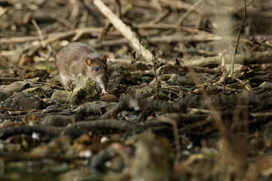 Rat running through undergrowth at Falmer Pond