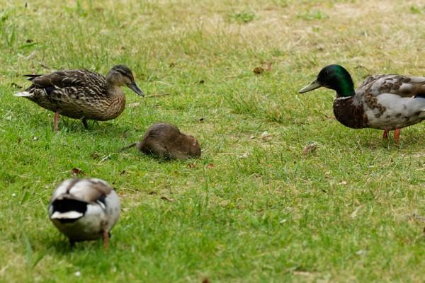 rat and ducks