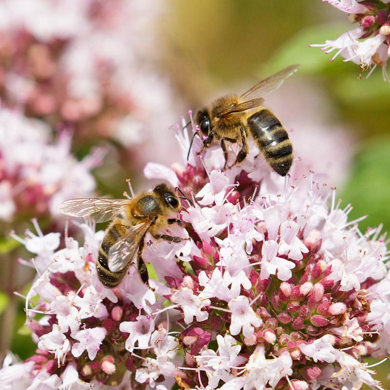 Bees on wild marjoram