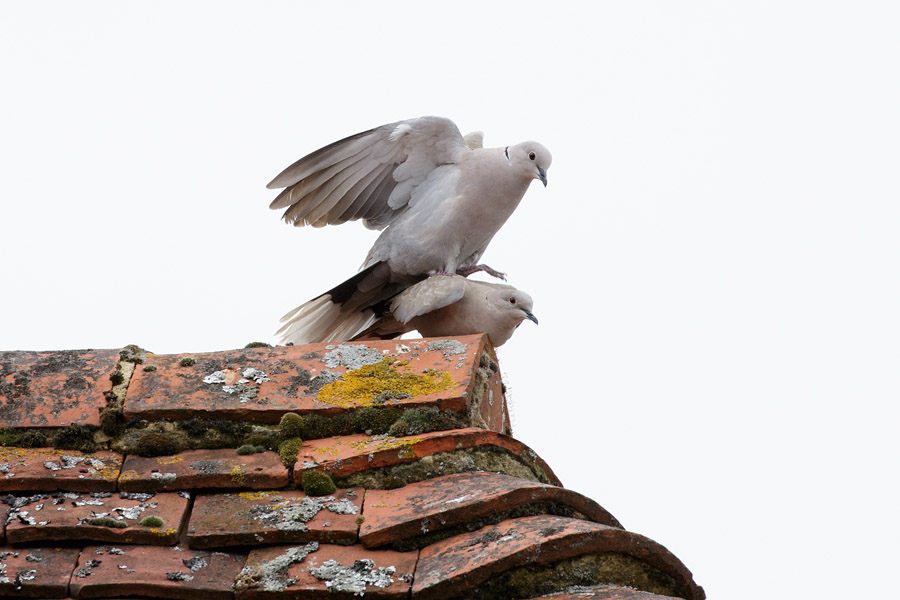Collared doves mating on tiled roof top