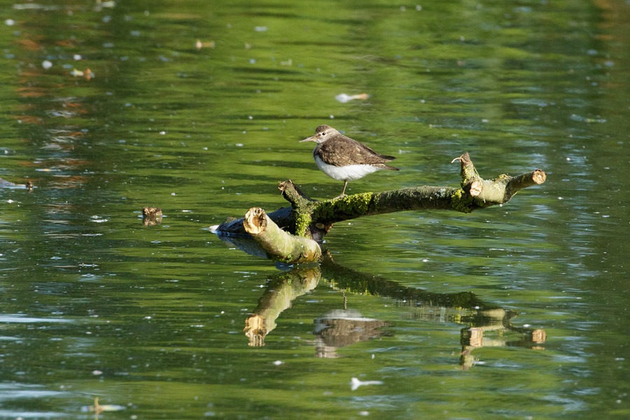 Common sandpiper perched on a branch in Falmer Pond