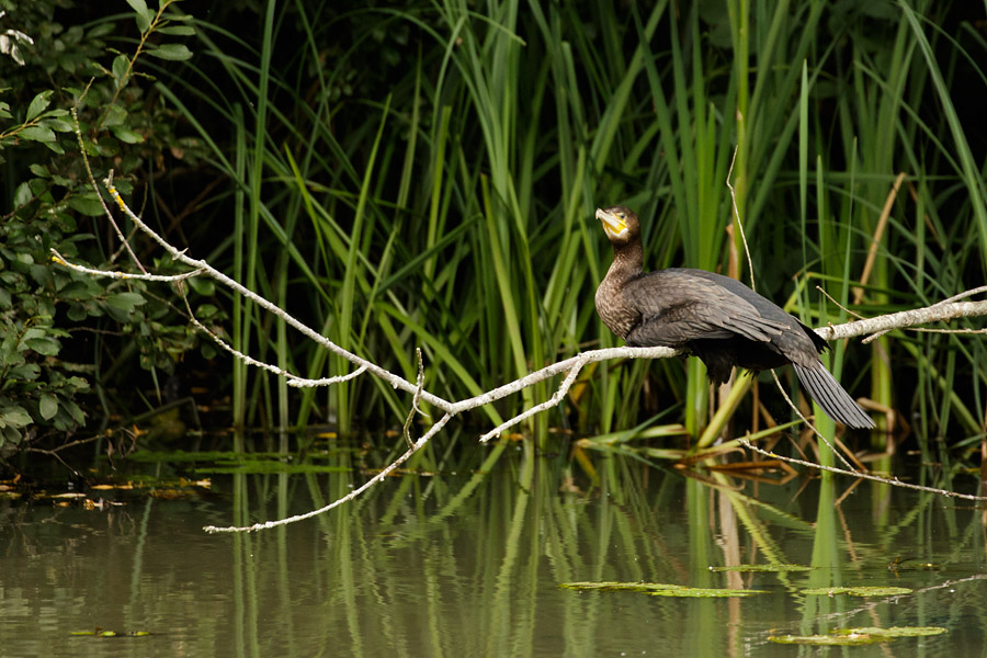 Cormorant at Woods Mill, Sussex