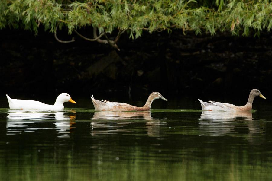 Trio of ducks on Falmer Pond